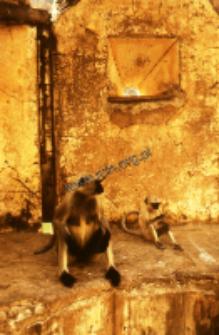 Monkeys in Amer (Iconographic document)