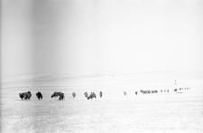 Wypas wielbłądów zimą