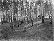 Koprzywnica koło Sandomierza : las brzozowy