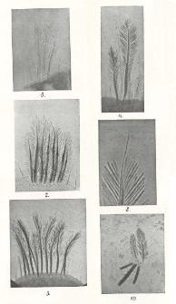 Über fächerförmige sinneshaare von Hippolyte Leach (Virbius Otto) = O wachlarzykowatych włosach czuciowych w rodzaju Hippolyte Leach (Virbius Otto)