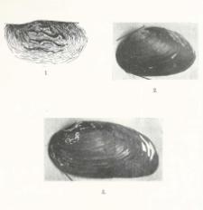 Unio crassus Retz. subsp. polonicus n. subsp., subsp. ornatus n. subsp.