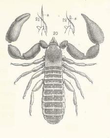 Descrizione di alcuni aracnidi inferiori dell' Arcipelago Malese