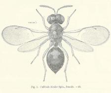 Observations on some parasites of Oscinella Frit Linn. Part 2