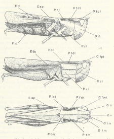 Colour variation in British Acrididae (Orthopt.)