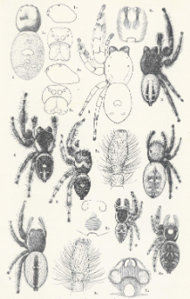 Spiders of the Phidippus Group of the Family Attidae