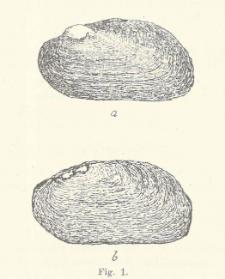 Quartäre mollusken aus den tonen von Ludwinów bei Krakau