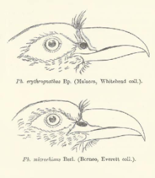 Description of two new species of the genera Phoenicophaes and Spilornis with a note on Oriolus Consobrinus Rams